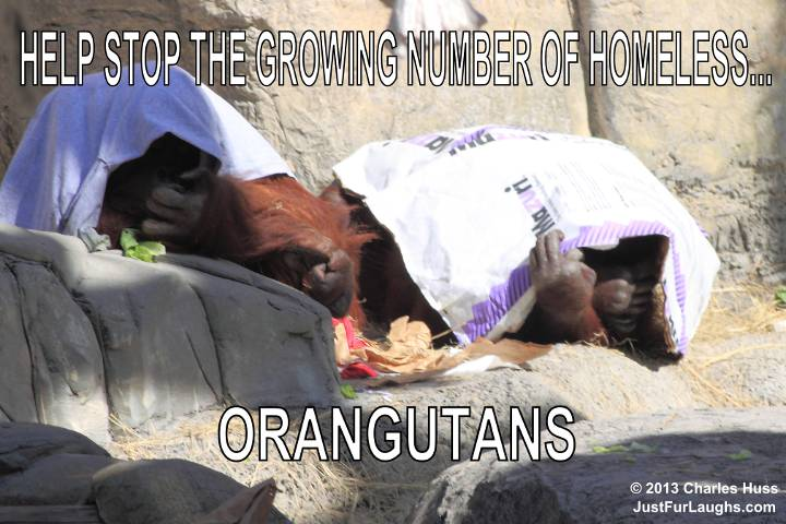 Homeless Orangutans